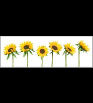 Sunflowers: Panoramic