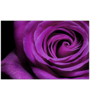 Purple Rose: Landscape